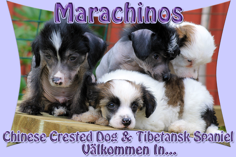Marachinos Chinese Crested Dog & Tibetansk Spaniel. Välkommen in!